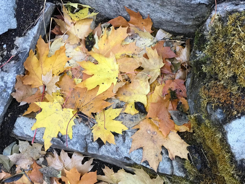 Maple_Fall_Stone_IMG_9307.jpg