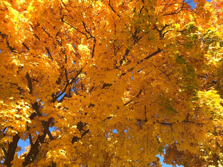 maple_leavesIMG_9257.jpg