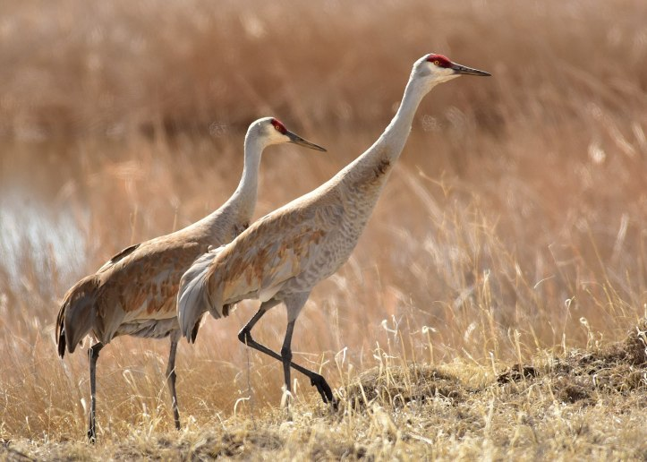 Greater_sandhill_crane_pair_on_Seedskadee_National_Wildlife_Refuge_(33053298654)PD
