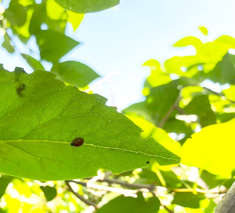 ladybuglilac.jpg