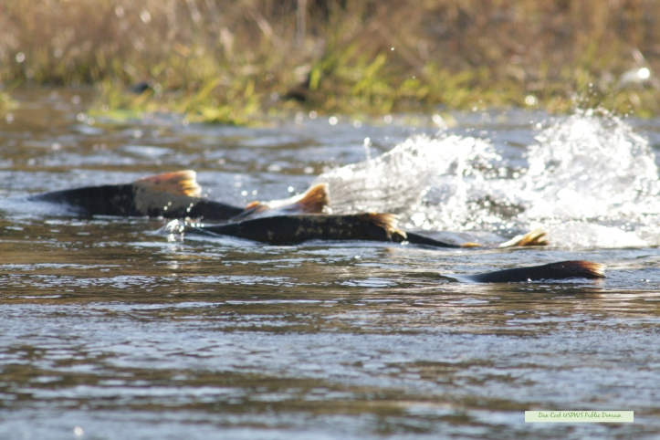 Chinook_salmon_moving_upstream copy.jpg