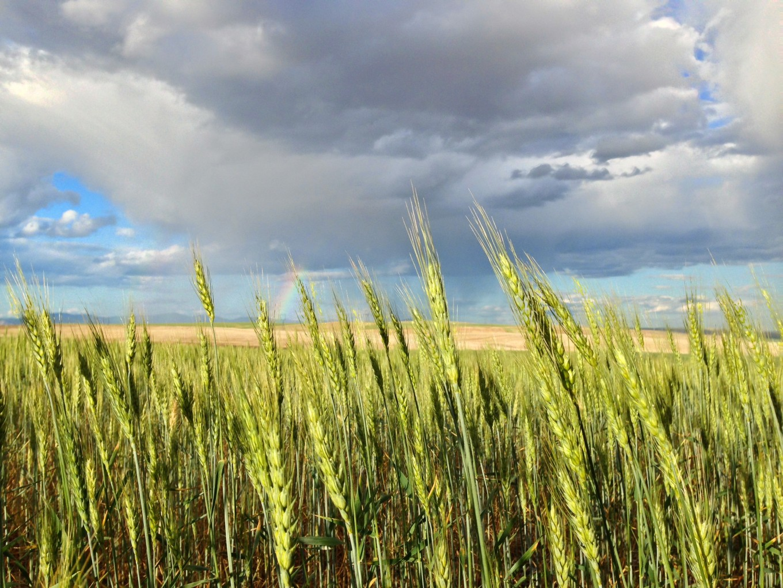 like.almira.wheat.JPG