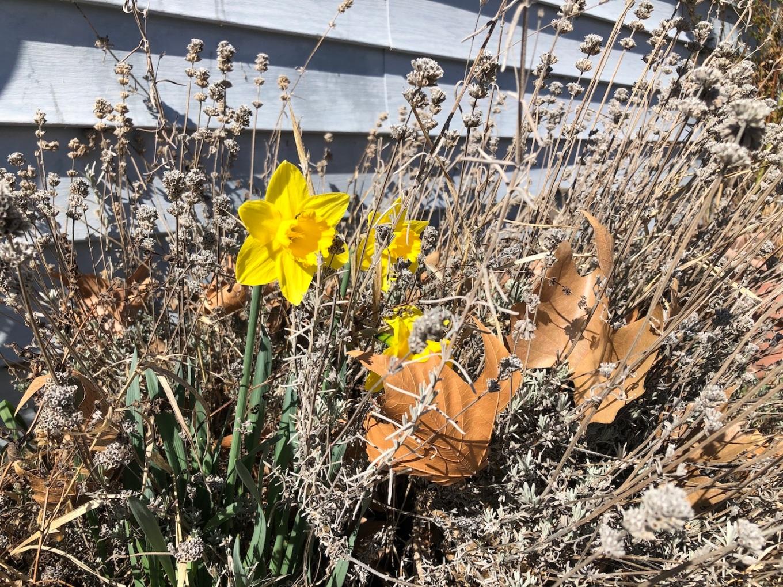 first daffodils sm