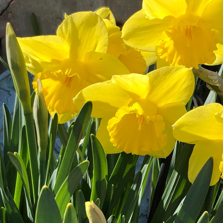 daffodil_4663