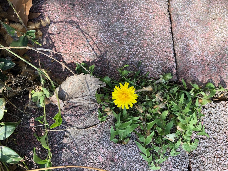 dandelion.IMG_4684 small