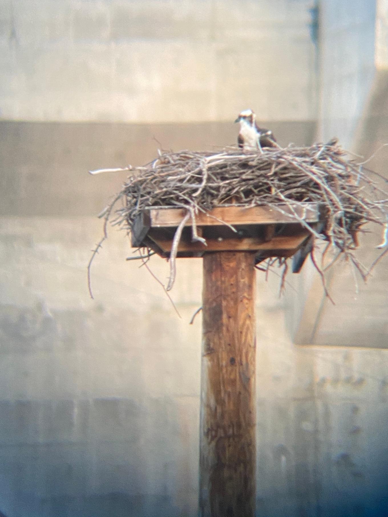 osprey_IMG_0753