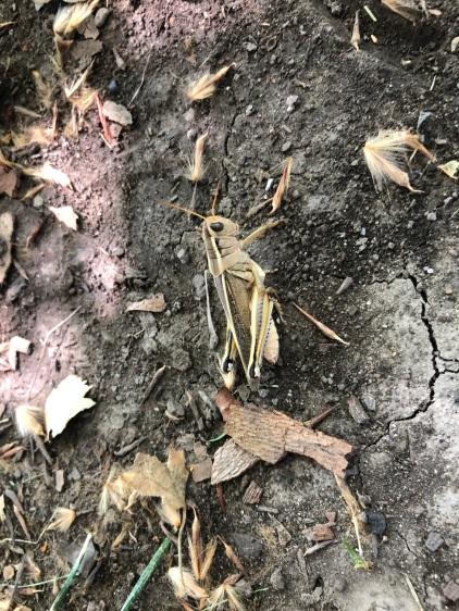 Itty's_Grasshopper_5610